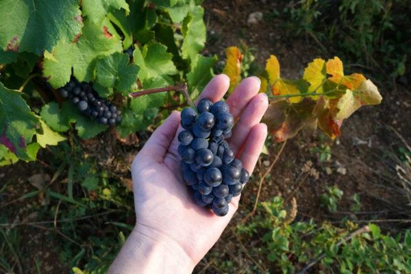 vendanges-2016-vignes-raisin-bourgogne-mimi-canette
